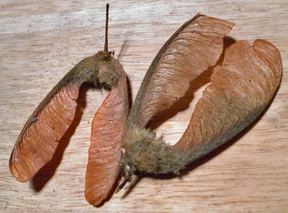 Big leaf maple seed pods